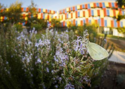 Cabbage white butterfly (Pieris rapae) at Centre Esplai, photographed with the hostel in the background by Edgar Madrenys.