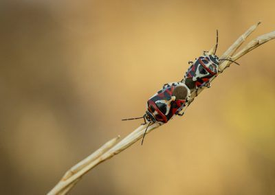 Two red shield bugs (Eurydema) at Centre Esplai. A very timely picture by Edgar