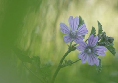 The malva flower (Malva silvestrys) at Centre Esplai, a beautiful spring gift captured by Edgar Madrenys