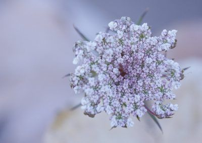 Did you know that this beautiful flower is actually a carrot (Daucus carota)? A photo by Edgar Madrenys.