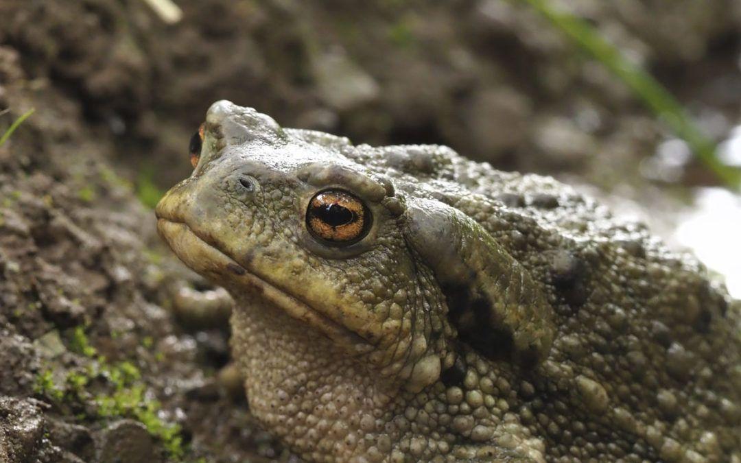 Descubre los peligros para los anfibios y cómo ayudarlos