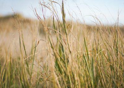 Vegetación de las dunas de la playa de Castelldefels